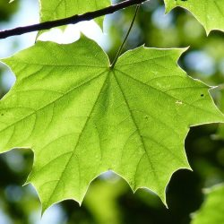 maple leaf, green, maple
